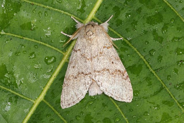 5838 moth Porto Joffre, Pantanal, Brazil 03.10.2015