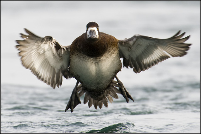 Duck (Lesser Scaup) - 0374