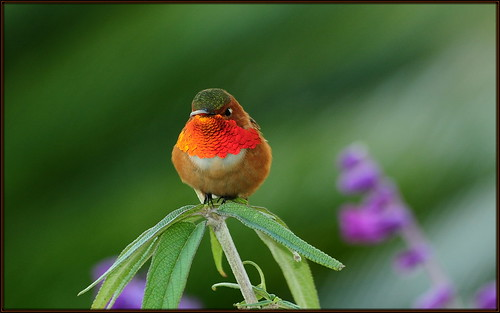orange hummingbird allens hummer