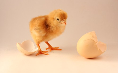 "The Chicken & The Egg Dilemma | by ""The Wanderer's Eye Photography"""