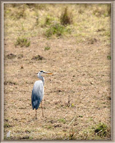 africa wild bird fauna kenya ken aves safari ardea event ardeacinerea afrika region herons fågel greyheron masaimaranationalreserve riftvalleyprovince maasaimaranationalreserve vild häger greatherons gråhäger hägrar