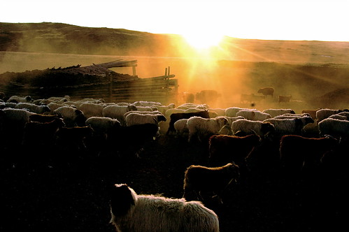 Herds at Daybreak