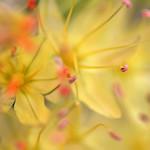 Yellow & Pistil