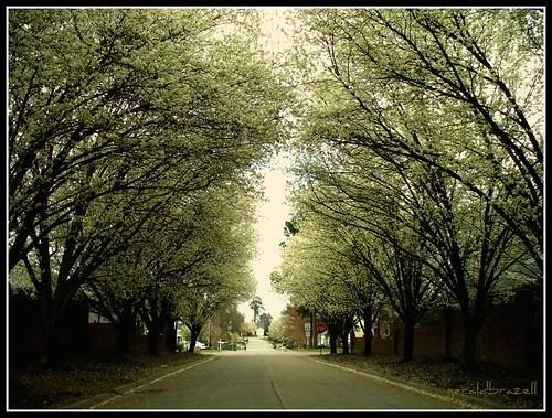 street tree lane columbiasc bradfordpeartree northeastcolumbiasc