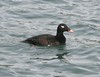 White-winged Scoter (male) by Wayne Weber