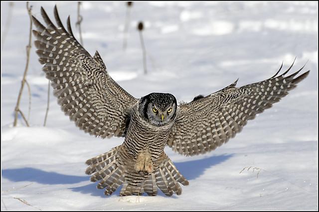 Owl (Northern Hawk) - 0155