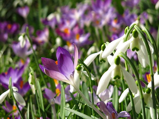 Snowdrops and Crocuses at Myddelton House Gardens | by Laura Nolte