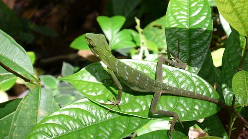 Thu, 03/13/2008 - 11:37 - Lizard in plot area. Credit: CTFS