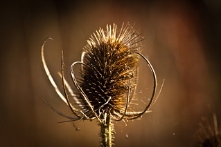Autumn thistle | by SimonDeanMedia