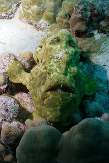 yellow Commerson's Frogfish1