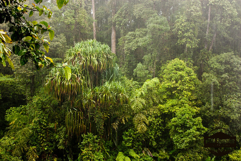 In the Rainforest, It Rains