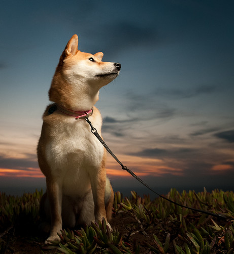 sf sanfrancisco sunset red sky dog cute beach night puppy japanese nikon dusk flash 1750 wireless nikkor suki shibainu shiba tamron speedlight vc strobe cls lr3 hotshoe shibaken 柴犬 sb800 creativelighting offcamera strobist sb900 d300s 52weeksfordogs lightroom3beta