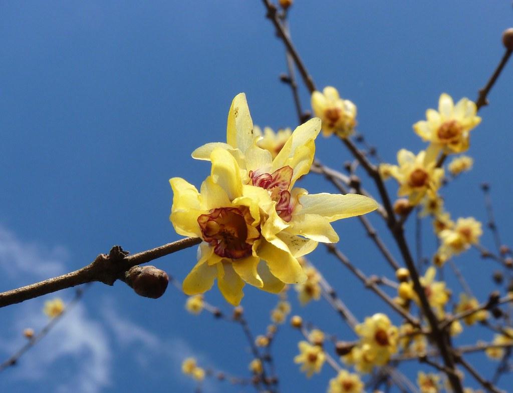 Calicanto Fiore D Inverno calycanthus (fiore d'inverno) | chimonanthus praecox (winter