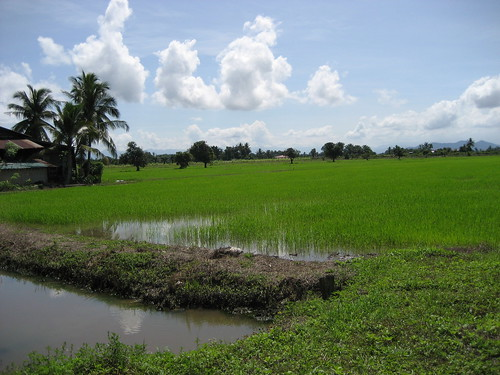 malaysia padi alorpongsu