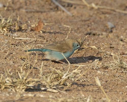Blue-breasted Cordonbleu (Uraeginthus angolensis)   by Lip Kee