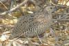 Brown Quail (Coturnix ypsilophora), Tasmanienwachtel by Werner Witte