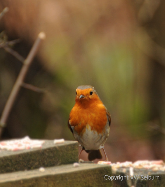 24/365 My favourite Robin Photo