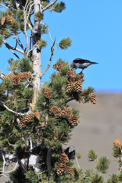 Clark's Nutcrackers feeding on Limber Pine
