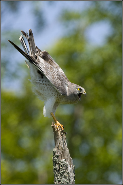 Hawk (Northern Harrier) - 0148