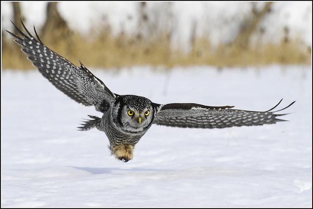 Owl (Northern Hawk) - 0125