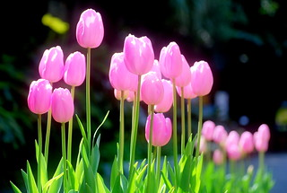 tulip | by akilius