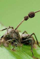 Ophiocordyceps unilateralis | by Alextkt 张惟迪