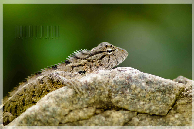 Whistling Lizard (Calotes liolepis)/ සිවුරුහන්ලන කටුස්සා