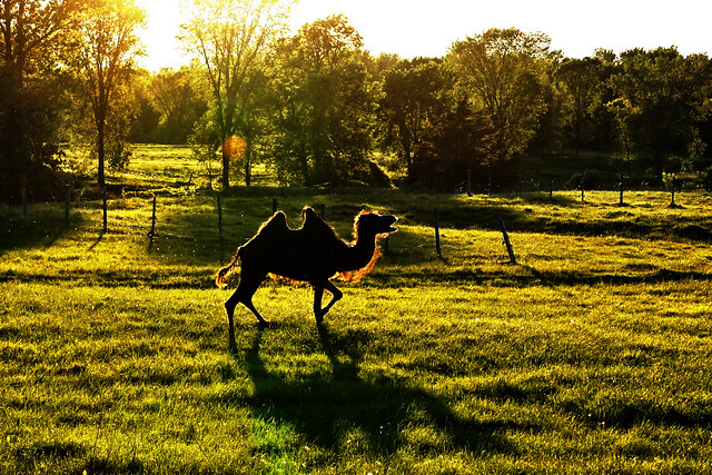 Oliver the Camel