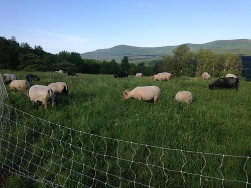 Icelandic sheep at Knoll Farm | by adkfarmerdan