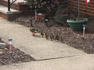 Duckling parade | by Cuyahoga jco