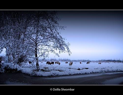 dollia sheombar dollias dolliash canoneos50d winter landscape sheeps cold snow sneeuw 50d canon holland nederland thenetherlands zuidholland southholland europe 1022 photo photos foto color colors photography vinter zimni talvi hiver vetur inverno vinteren invierno sneeu sne lumi laneige schnee neve lanieve koud ijs bevroren frozen dutch schapen weiland farm boerderij tree