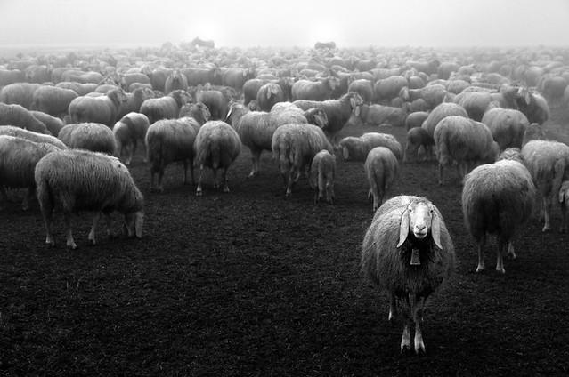 Fuori dal gregge * Outside flock