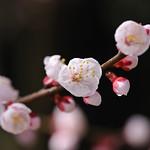 杏 / Apricot