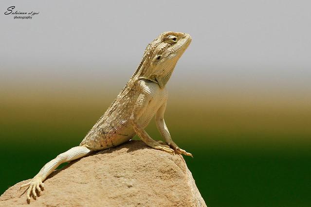 أم حبين Agama pallida