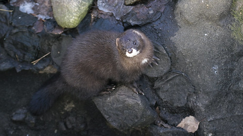 European mink | by JonasSuni