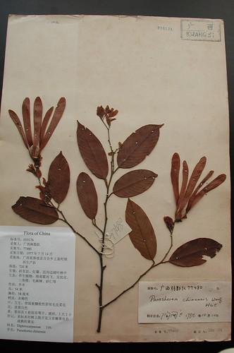 Thu, 10/29/2009 - 22:40 - Shorea wantianshuea (Parashorea chinensis) herbarium specimen. Credit: CTFS
