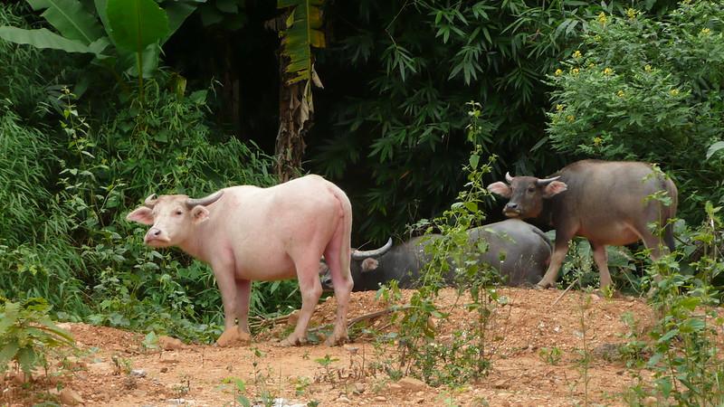 Nong Khiew, Luang Prabang 040