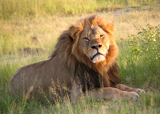 Cecil the lion | by Daughter#3