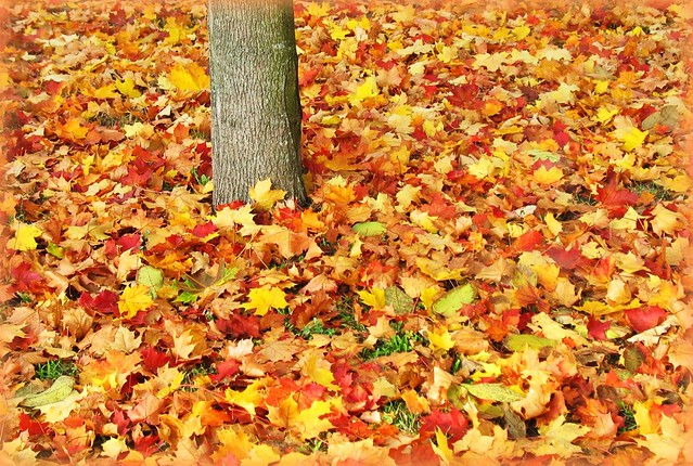 Autumn Carpet Of Maple Leaves Fall Colours Germany Flickr