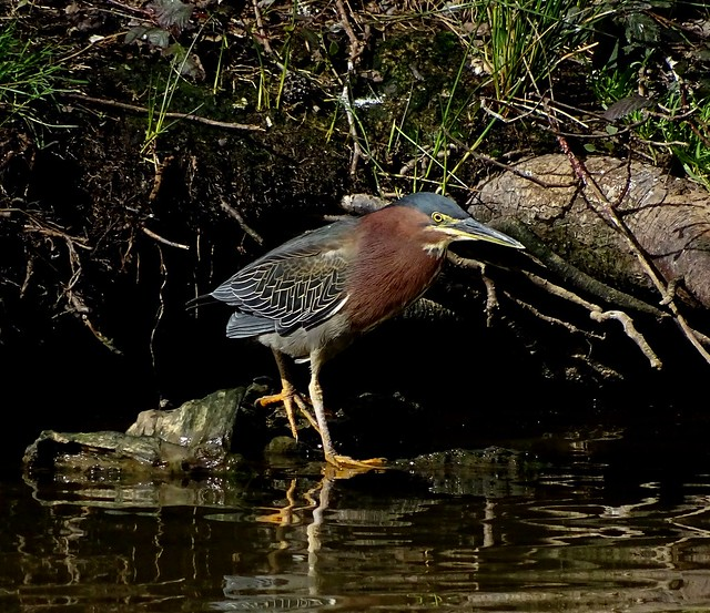 Green Heron--Butorides virescens