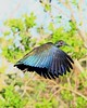 Mesembrinibis cayanensis :: Green Ibis by Frederico Pereira PhotoNatural