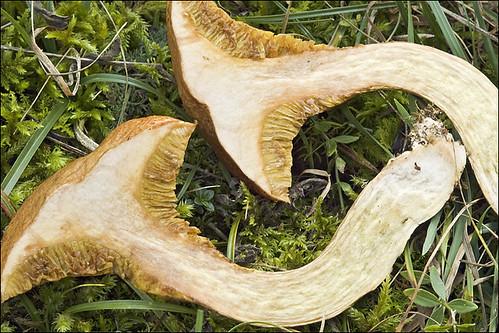 Suillus bovinus_9 | Suillus bovinus Jersey cow mushroom ...