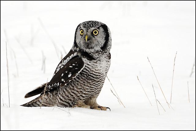 Owl (Northern Hawk) - 0079