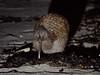 Southern Brown Kiwi by Jim Scarff