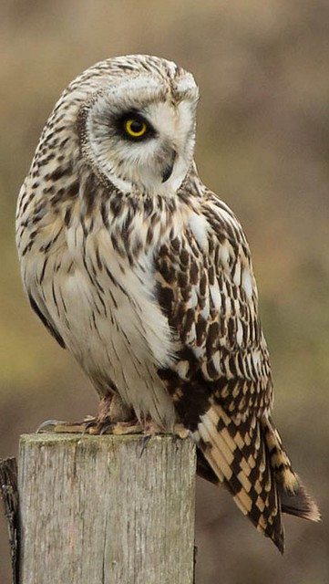 A Short Eared Owl on a post
