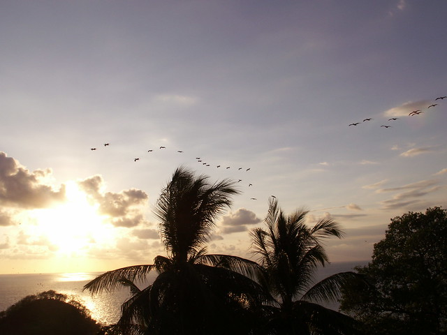 pelicans / sunset