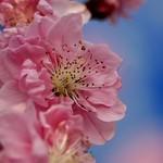 桃/Prunus persica