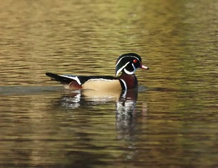 Wood Duck | by Mike's Birds