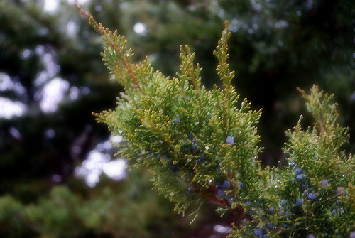 Juniper in Soft Focus | by Been There Photography