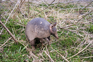 Armadillo | by smthng